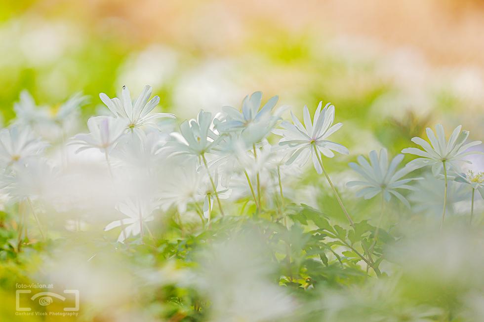 White spring dream