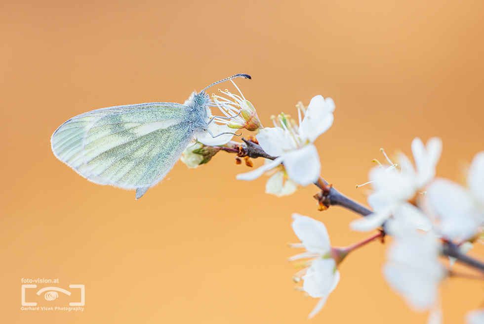 Wood white on white