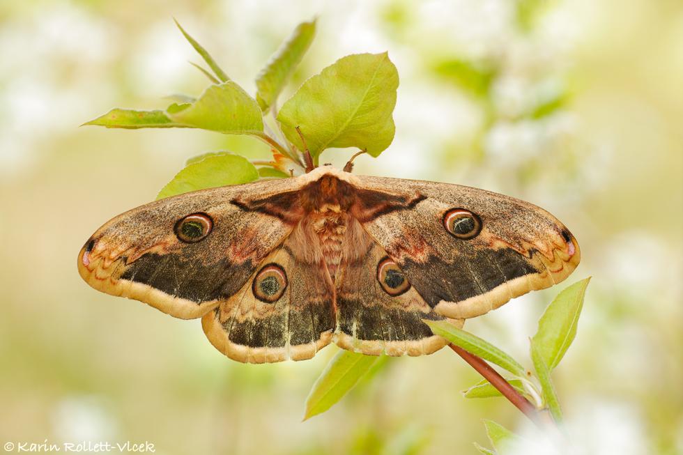 Large Emperor Moth
