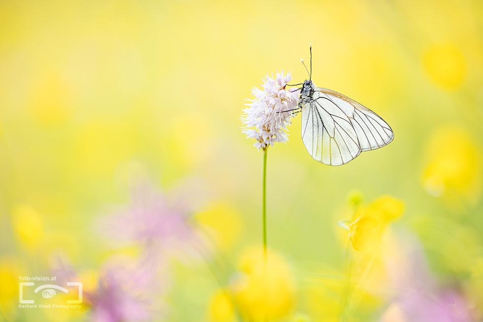 Yellow White Dream