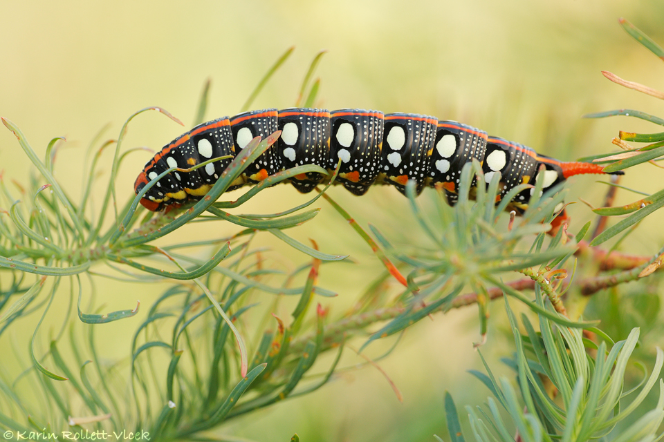 Spurge Hawk-moth