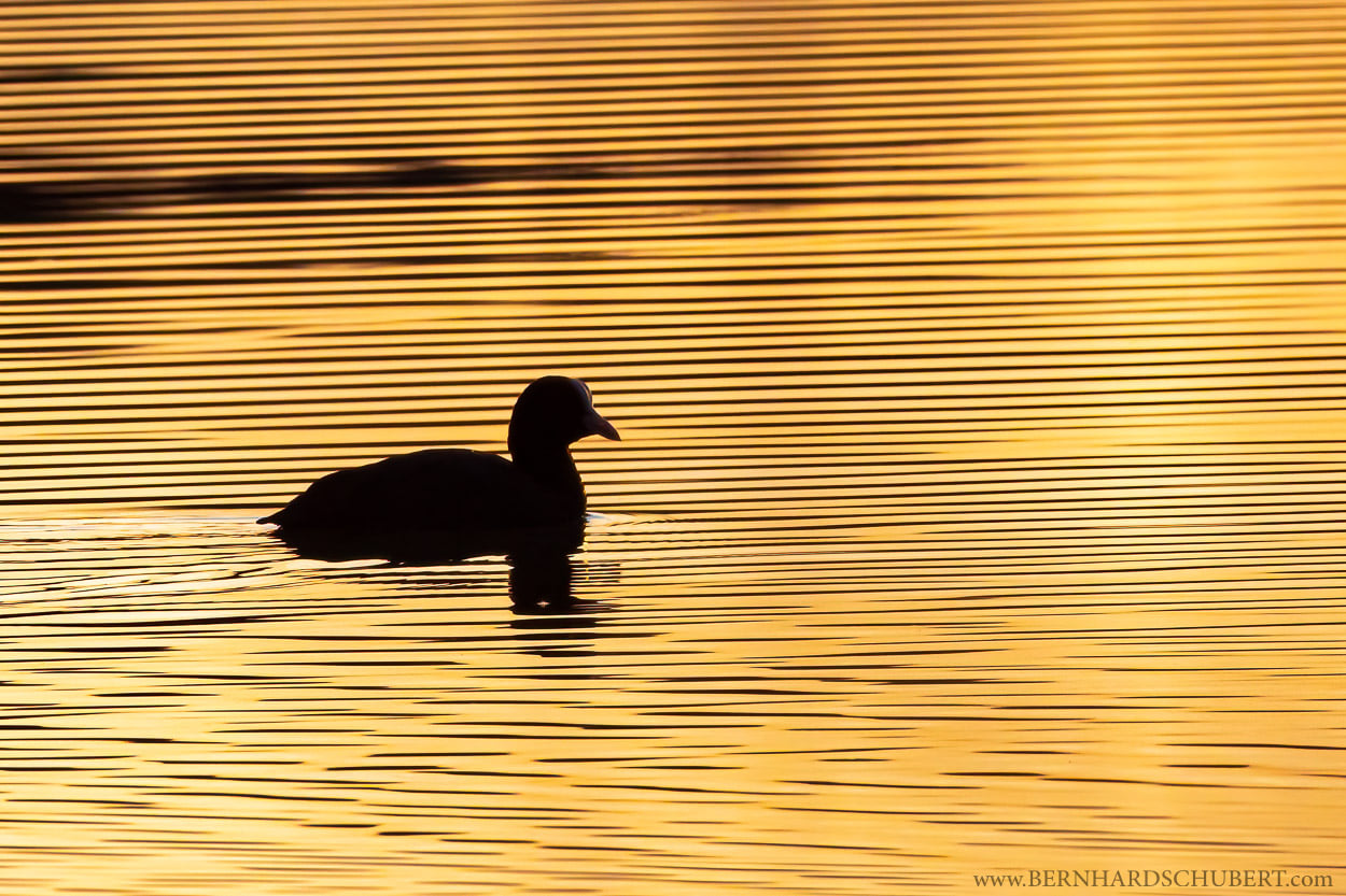 Coot Lines