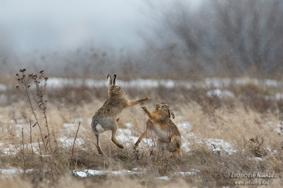 The dance of the brown hare