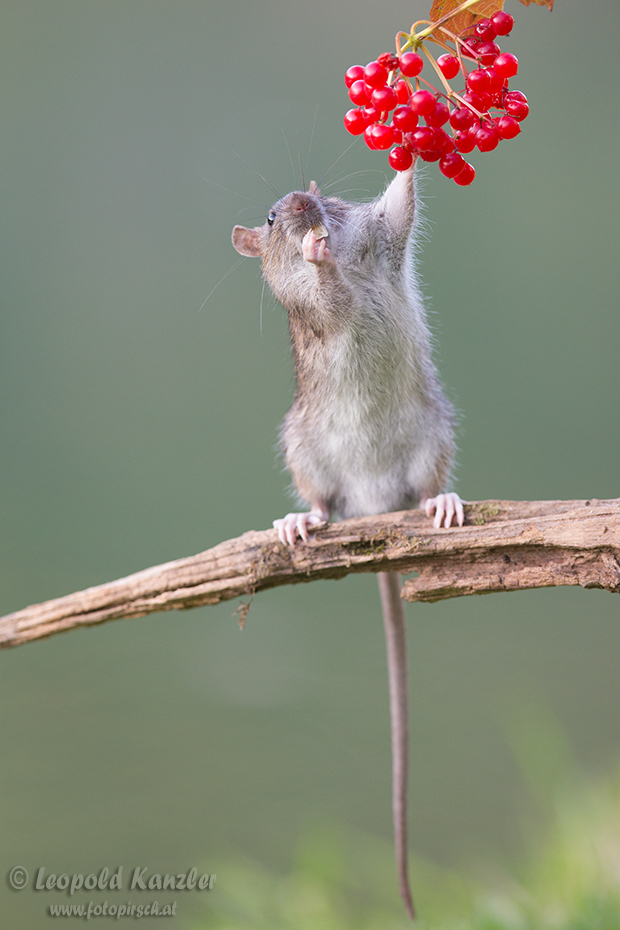 Hungry Rat