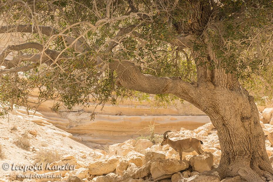 Nubischer Steinbock