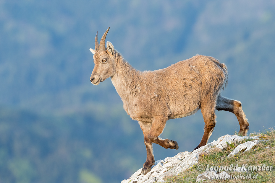 Female Alpine Ibex