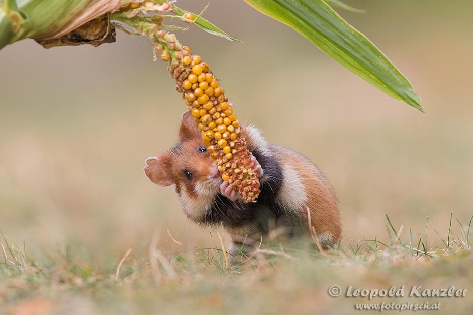 Corn Thief
