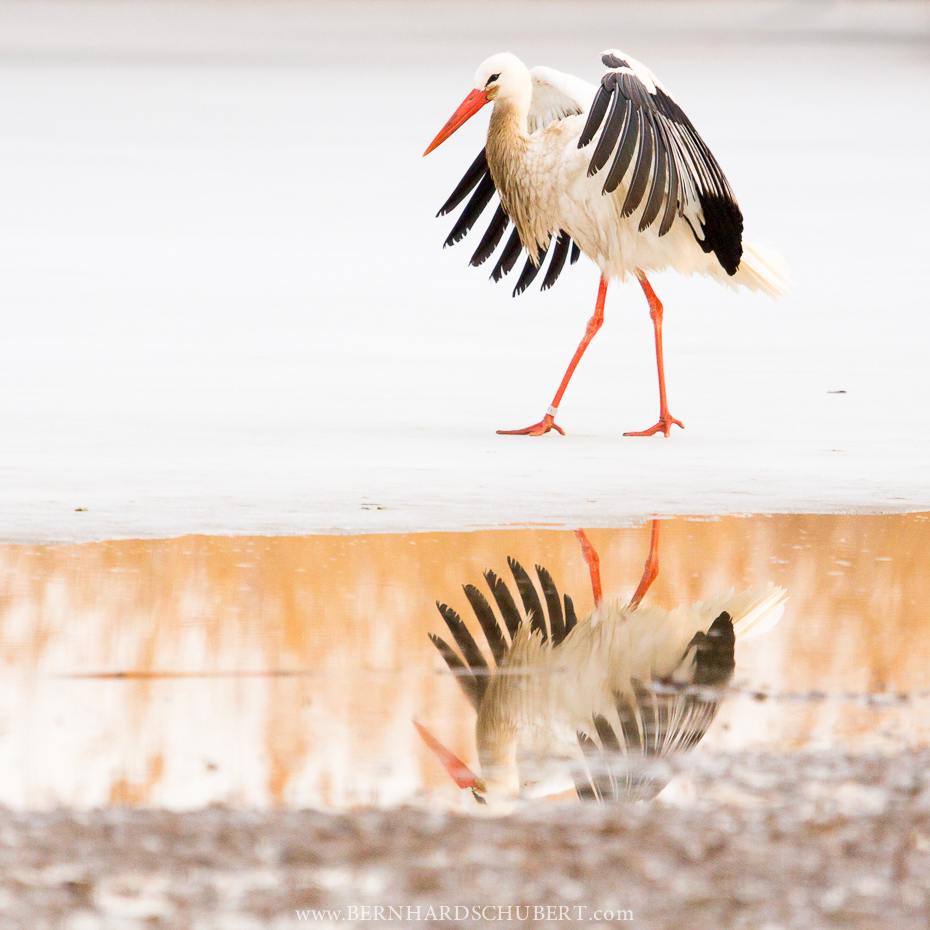 White stork during winter