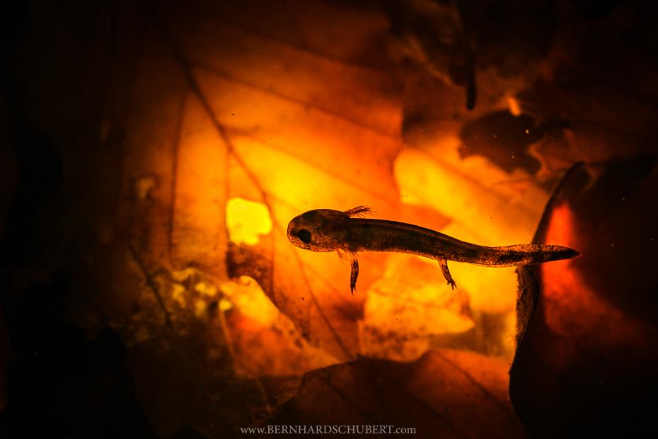 Fire Salamander Larva