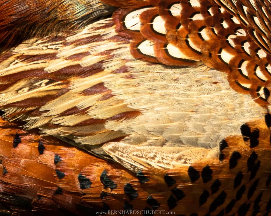 Pheasant Detail