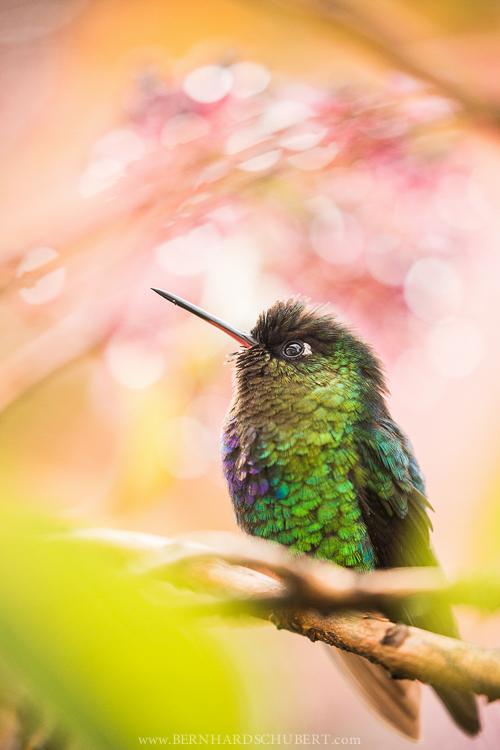 A Hummingbird's Dream
