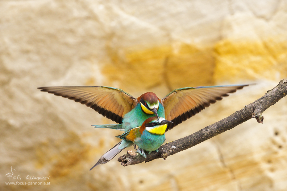 Bee-Eater Copulation