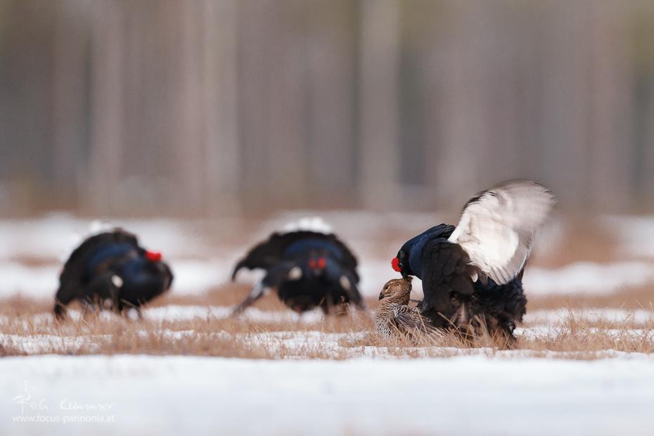 Black Grouse Copulation