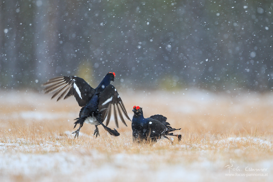 Black Grouse Fight In The Snow