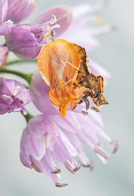 Phymata crassipes