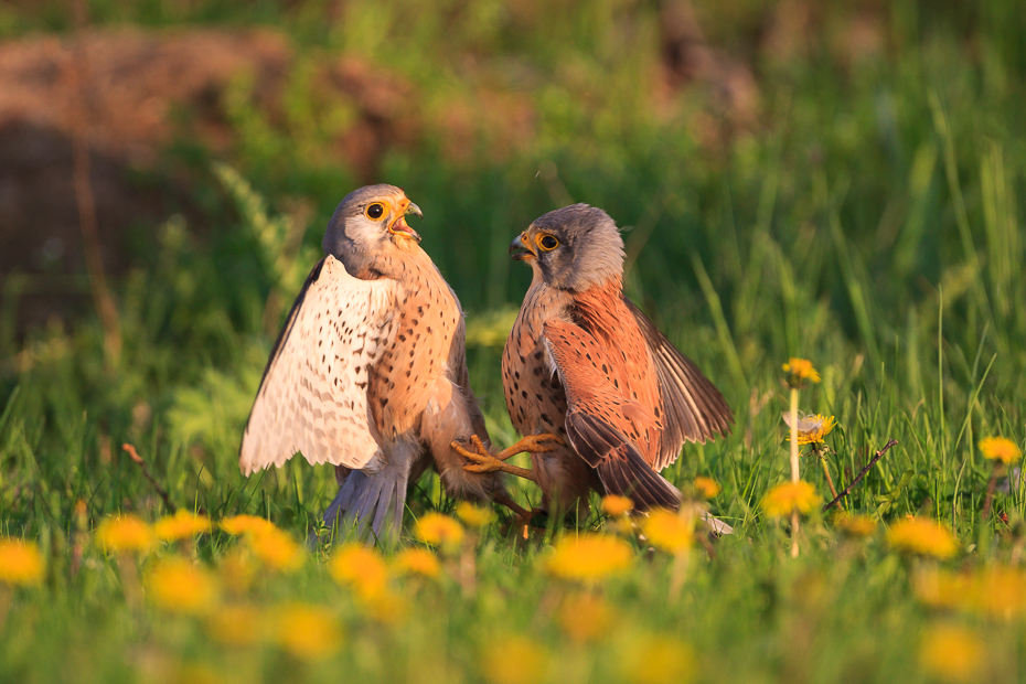 Common Kestrel Fight