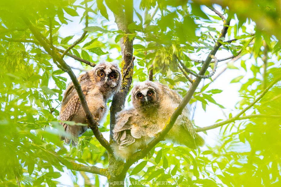 Long-eared owlets