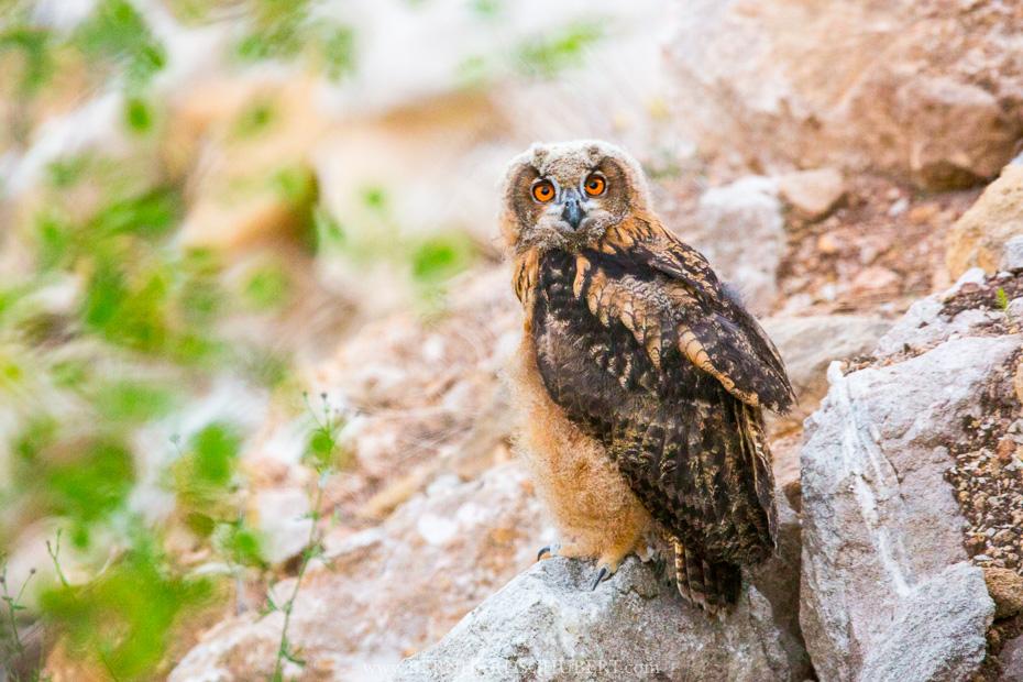 Eurasian Eagle Owl Owlet