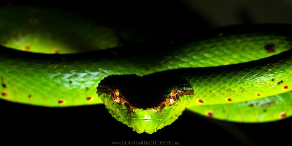 Bornean keeled pit-viper