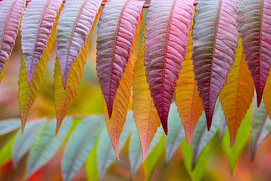 Essigbaum-Blätter