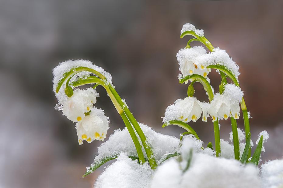 """""""Schnee-Glöckchen"""""""