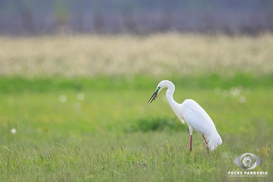 Egret with Wall Lizard