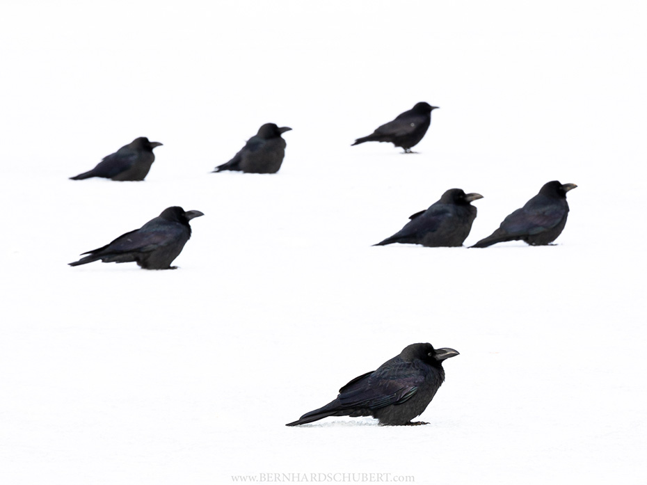 Meeting of Crows