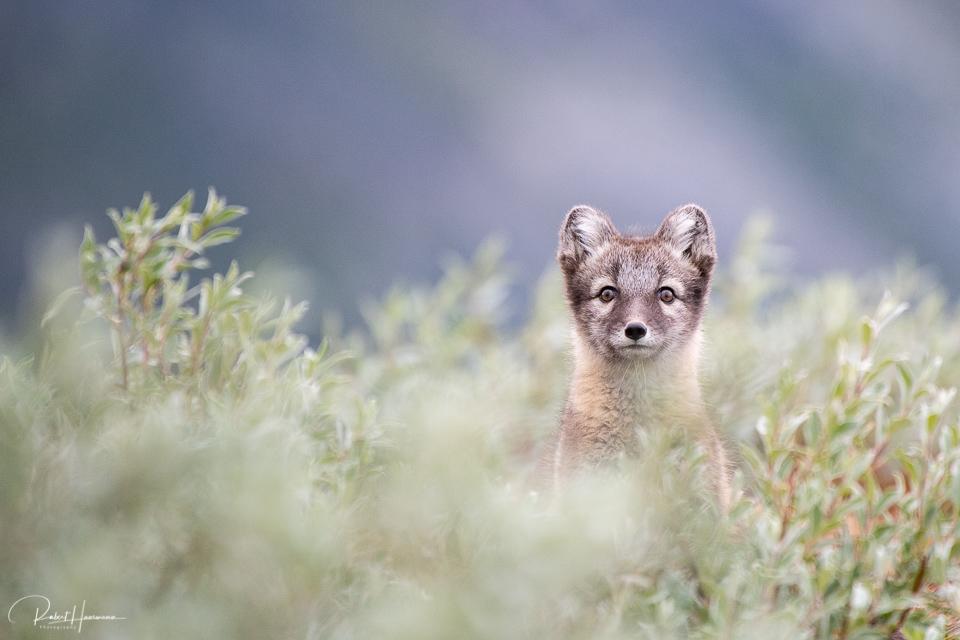 Curious Arctic Fox