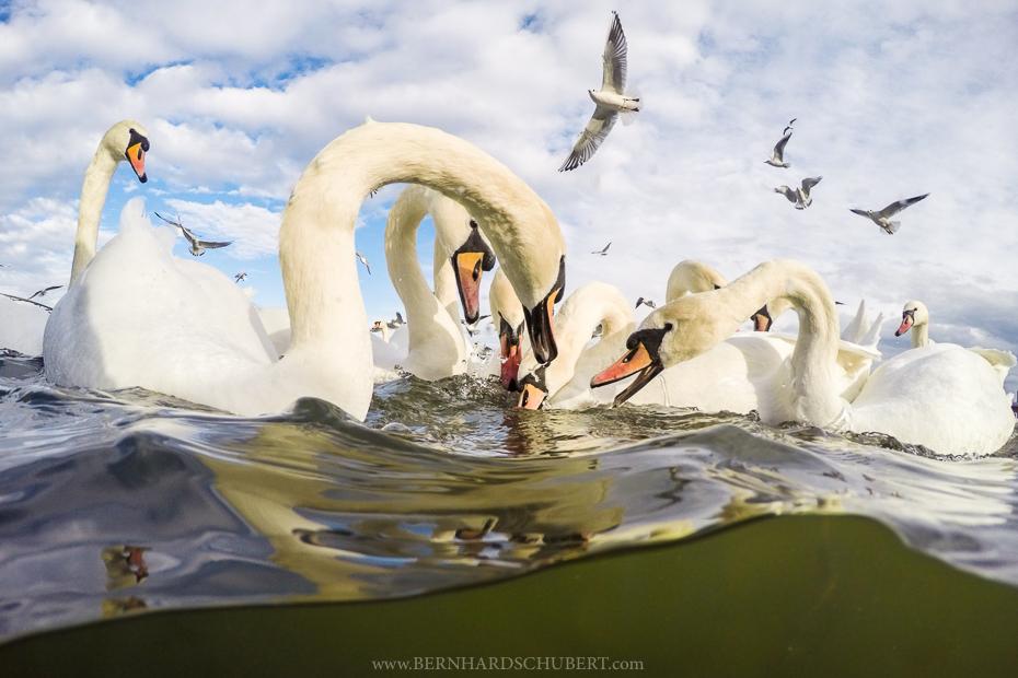 Mute swans having a duspute