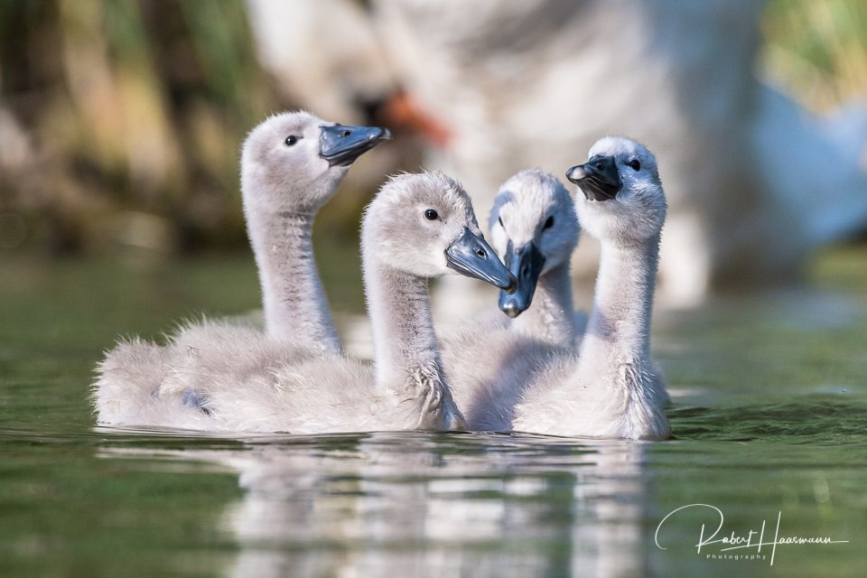 Swan offspring