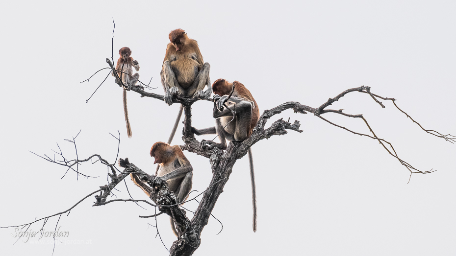 Long-nosed monkeys (Nasalis larvatus)