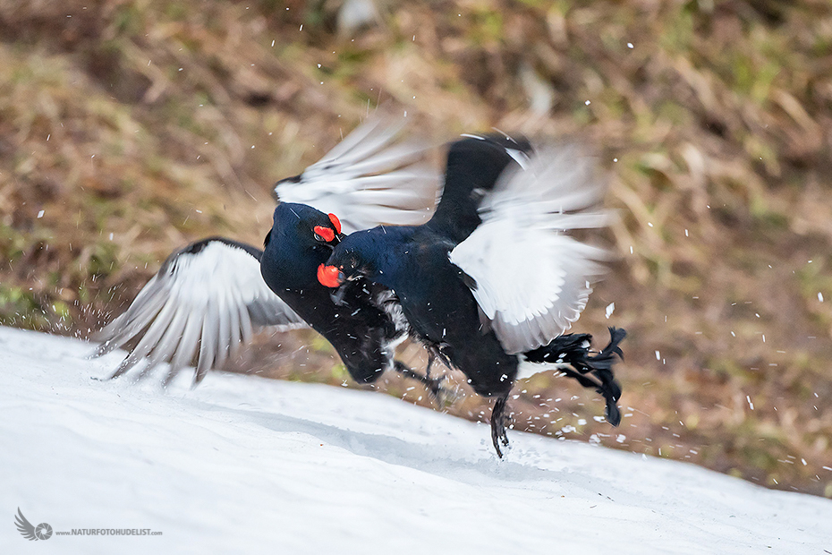 Black Grouse Infight