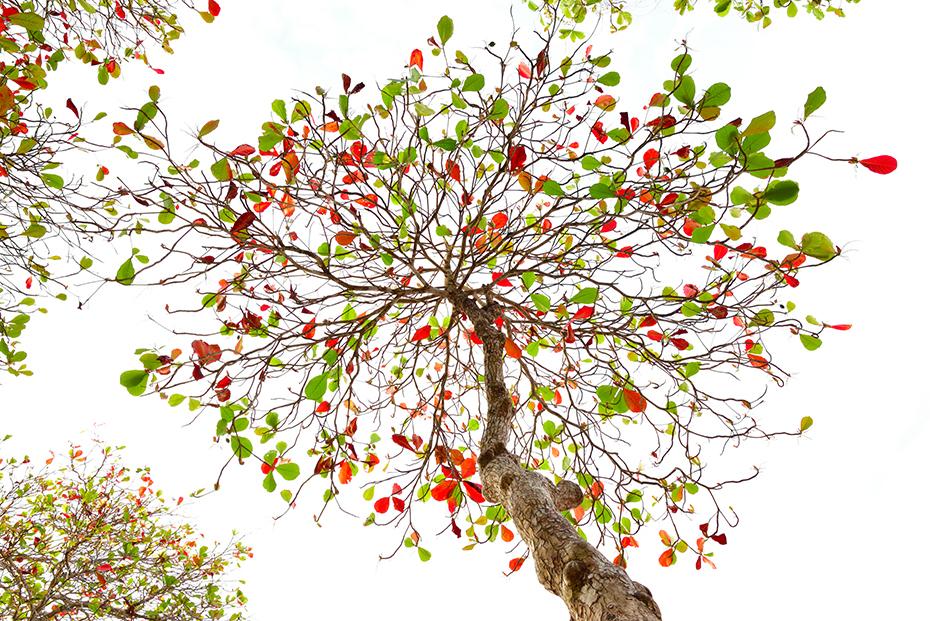 Katappenbaum