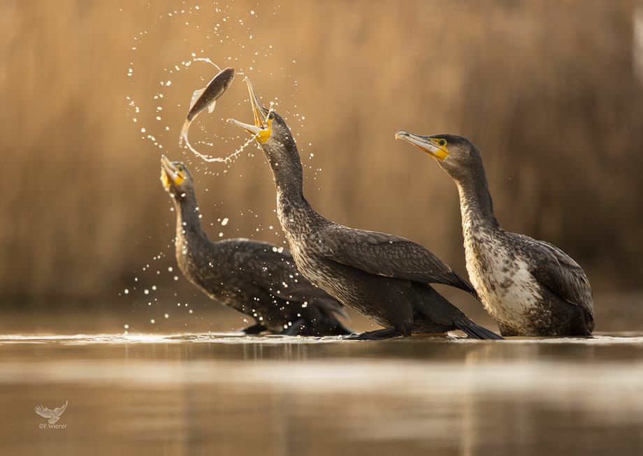 Cormorant Action