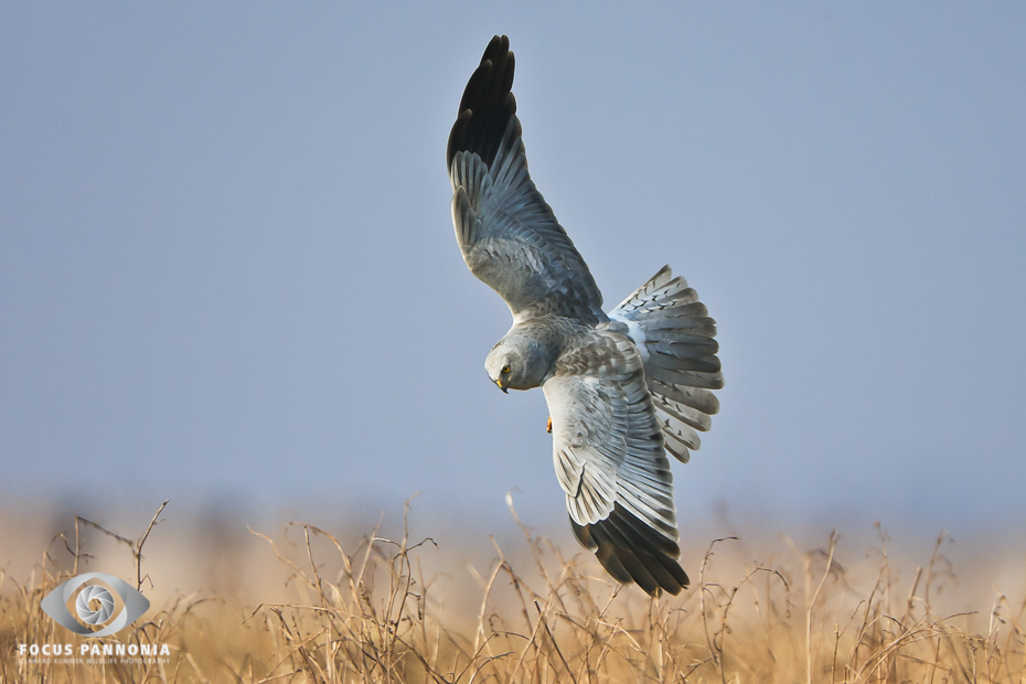 Northern Harrier in gliding flight