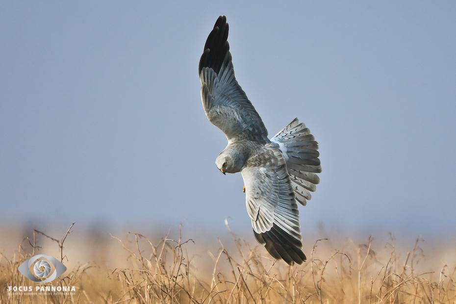 Northern Harrier in gliding flight