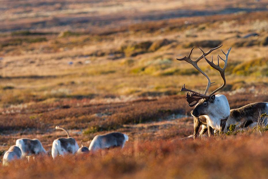 Wild mountain reindeer