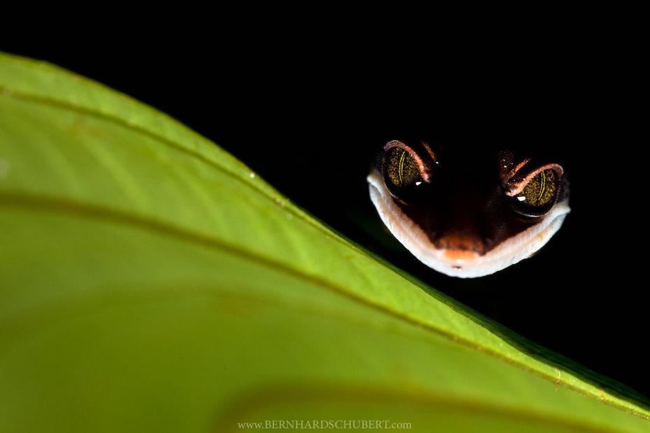 Cheshire Gecko