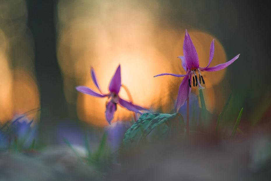 Dogtooth Violets