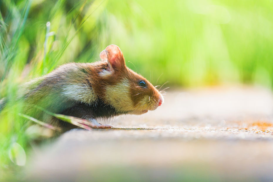 Nosy Hamster