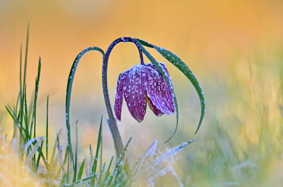 Schachblume - Checkered Lily