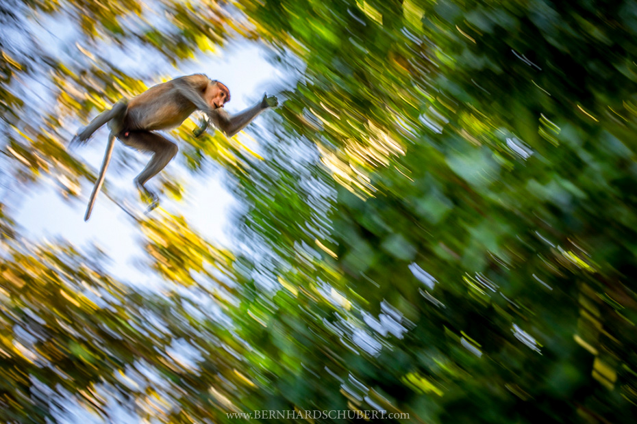Proboscis monkey in flight