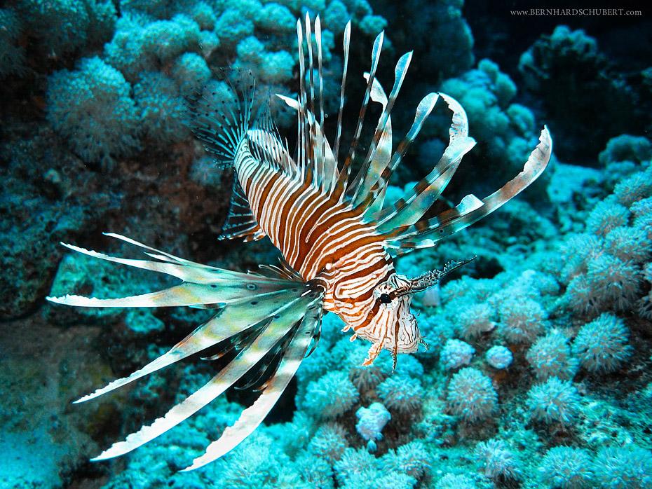Firefish