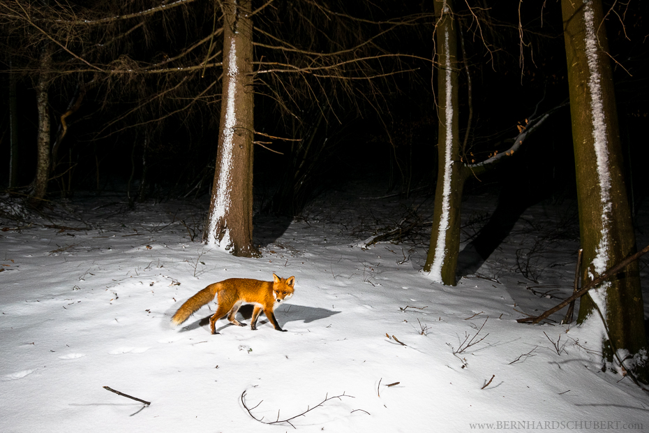 Red fox during night