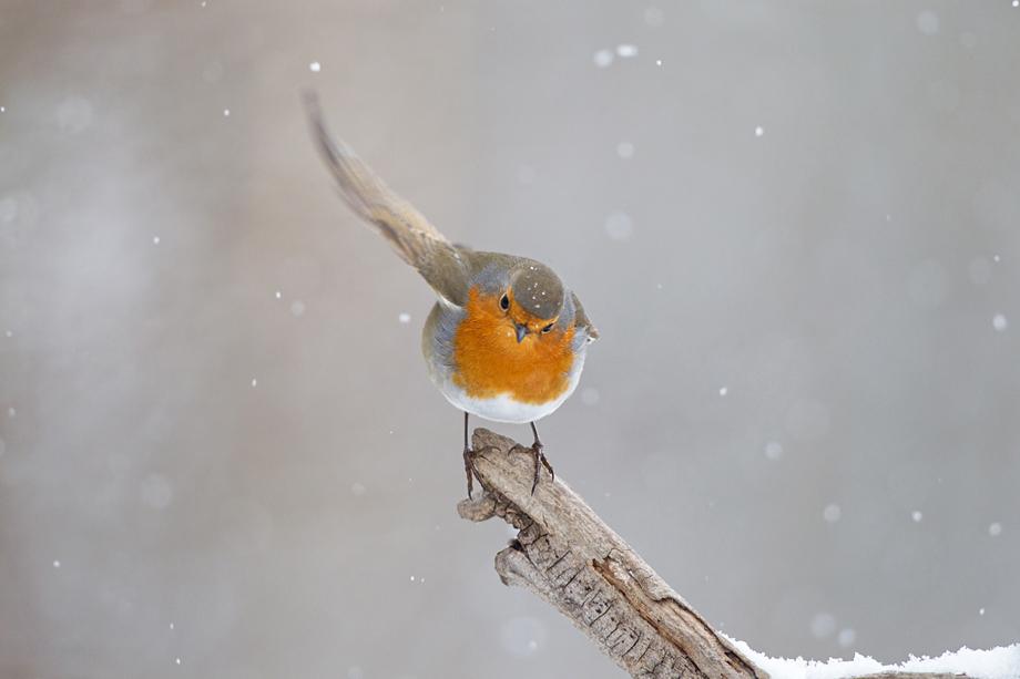Fly Robin