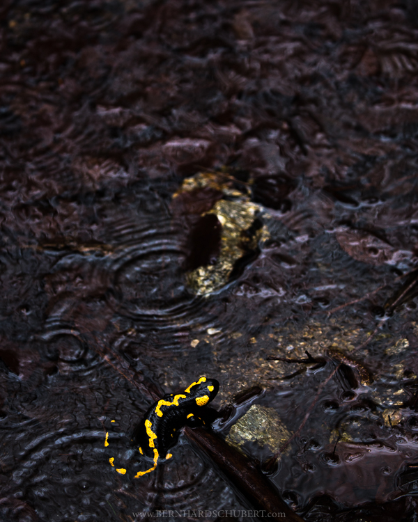 Spawning Fire Salamander