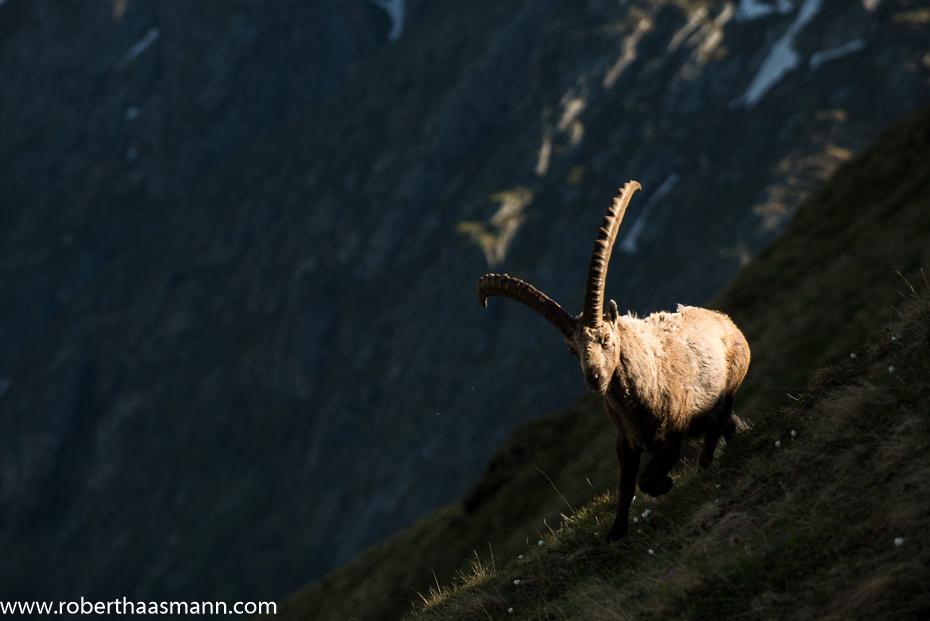 Ibex in Spotlight