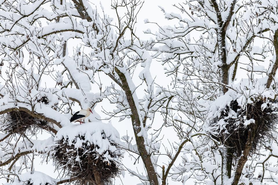 Storch im Winter