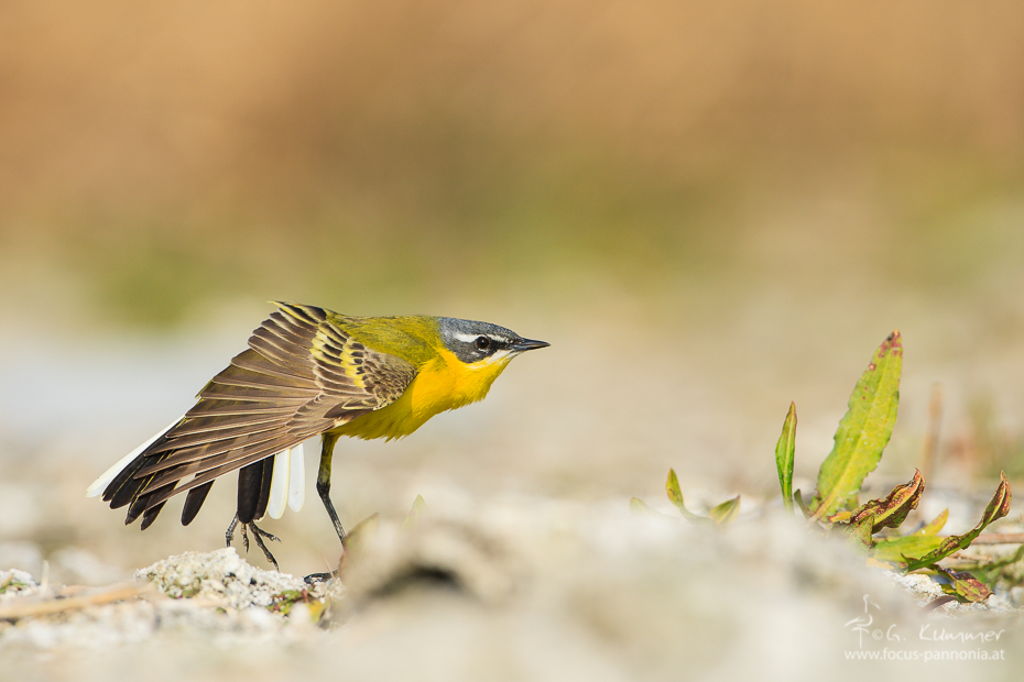 Western Yellow Wagtail Stretching
