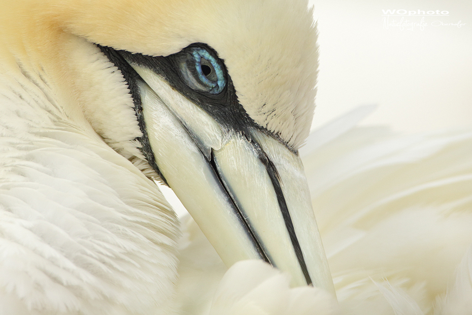 Gannet dream in white